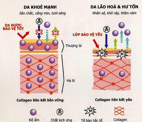 Thuc-hu-ve-collagen-giup-lan-da-thoi-bay-lao-hoa-1