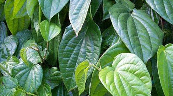 xông vùng kín bằng lá trầu không sau sinh