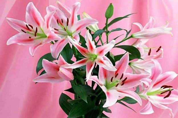Hoa Ly - Loài hoa của sự thanh cao sang trọng