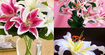 Tìm hiểu ngay ý nghĩa hoa ly cùng Shop hoa tươi Mrhoa