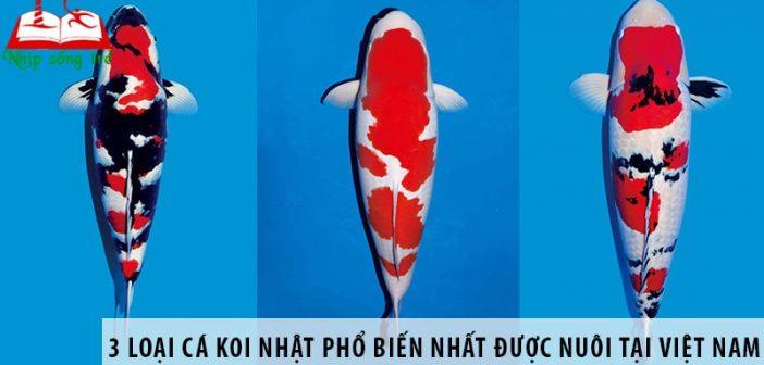 3 loại cá koi Nhật Bản phổ biến nhất được nuôi tại Việt Nam