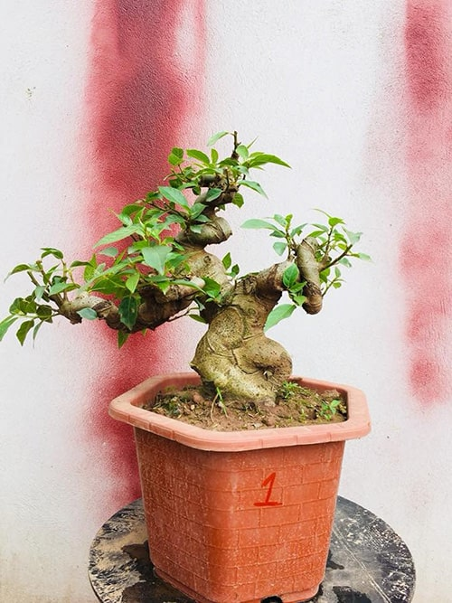 Cây đa là loại cây thu hút âm khí
