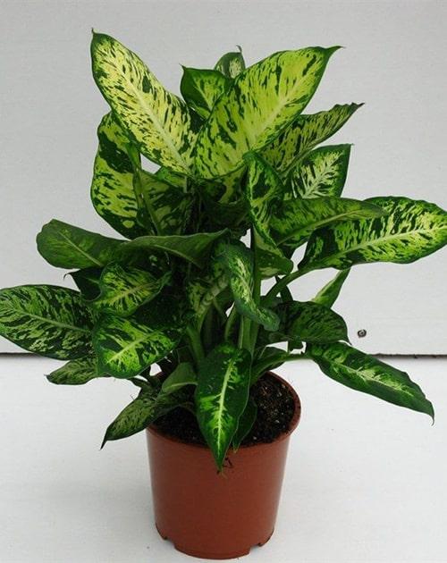 Cây vạn niên thanh là loại cây chứa độc tính