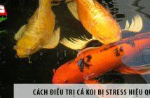 Cách điều trị cá Koi bị stress hiệu quả ai cũng nên biết