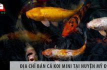 Địa chỉ bán cá koi mini đẹp, giá rẻ tại huyện Mỹ Đức