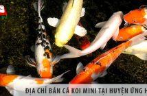 Địa chỉ bán cá koi mini đẹp, giá rẻ tại huyện Ứng Hòa